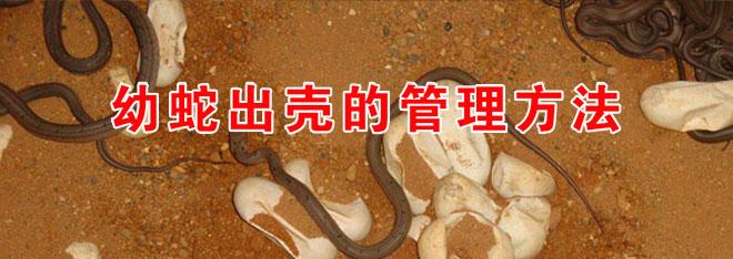 幼蛇出壳的管理方法