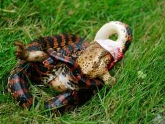 赤练蛇进食 (5)
