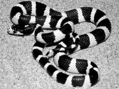 银环蛇养殖(二) (18)
