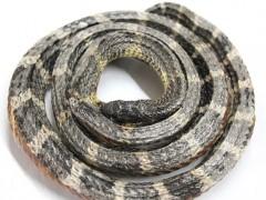 银环蛇干 (3)