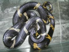 棕黑锦蛇养殖(二) (17)