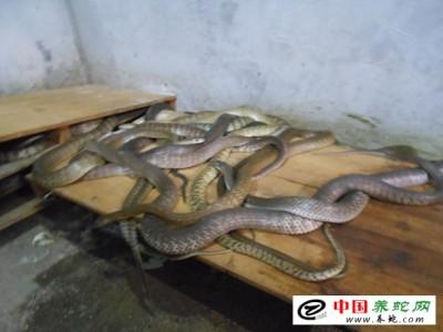 湖南大王蛇养殖