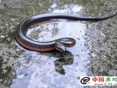 广东泥蛇养殖