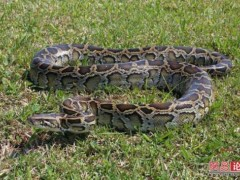 蟒蛇养殖 (6)