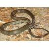 低价种蛇出售