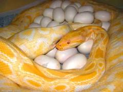 蟒蛇母蛇产蛋