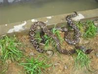 五步蛇生态养殖视频 ()