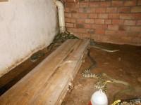 大王蛇商品蛇发酵床养殖 (13086播放)