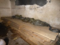 大王蛇种蛇发酵床养殖 (11716播放)