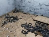 眼镜蛇养殖视频(八月龄) (11530播放)