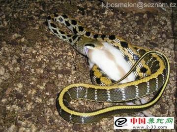 黑眉锦蛇幼蛇的养殖与密度