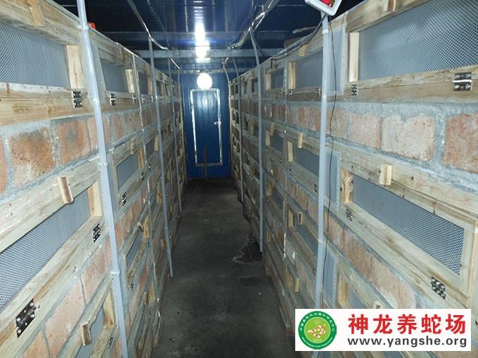 大王蛇幼蛇发酵床养殖,发酵床养蛇技术视频