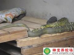 2009年(nian)大王(wang)蛇(she)生態養殖(暫養) (10)