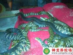 2011年大王蛇养殖 (11)