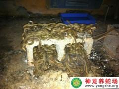 2012年(nian)的大王(wang)蛇(she)苗 (8)