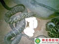 2014年王锦蛇产蛋 (7)