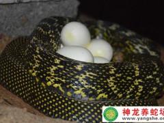 2015年大王蛇产蛋