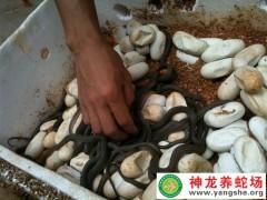 2015年大王蛇蛋孵化 (7)