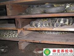 2015年大王蛇养殖 (12)