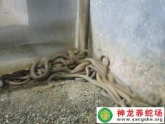 2015年的大王蛇幼蛇养殖 (364播放)