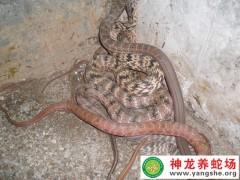 2015年两月龄大王蛇幼蛇 (877播放)