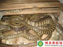 2011年的养殖的水律蛇 (5)