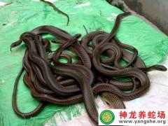 2012年的水(shui)律蛇苗(miao) (13)