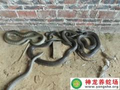 2013年的水律蛇养殖 (9)