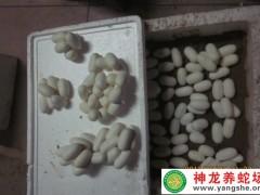2014年水律蛇蛋 (17)