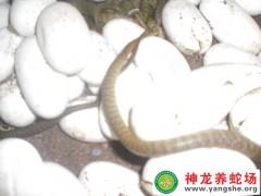 2014年水律蛇苗出壳 (5)