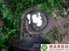 2015年6月水律蛇产蛋 (13)