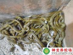 2015年的水律蛇幼蛇养殖 (5)
