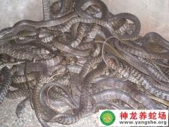 2015年两月龄水律蛇幼蛇 (15)
