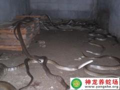 2015年水律蛇养殖 (8)
