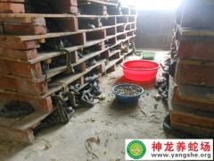 学员养蛇的蛇-老王河南 (16)