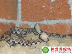 2010年的五步蛇养殖 (6)