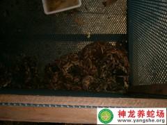 2012年五步蛇养殖 (4)