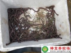 2013年的五步蛇幼蛇孵化 (8)