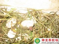2013年五步蛇幼蛇孵化 (8)