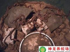 2014年五步蛇幼蛇养殖 (8)