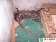 2012年眼镜蛇无冬眠饲养 (8)