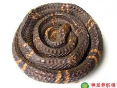 2012年制作的眼镜蛇干 (5)