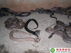 2014年眼镜蛇幼蛇养殖 (15)