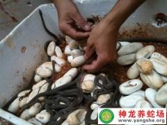 大王蛇苗幼蛇出壳 (5)