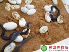 眼镜蛇苗 (6)