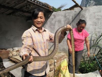 我怕蛇能养好蛇吗? (7338播放)