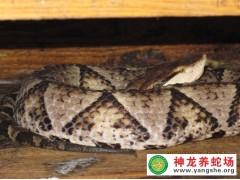 五步蛇种蛇