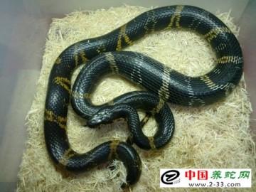 赤峰锦蛇和棕黑锦蛇的养殖方法与王锦蛇大同小异