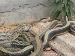 长期大量求购2斤以上的菜花蛇
