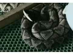 长年收购五步蛇干 蝮蛇干 眼镜蛇干水律蛇干